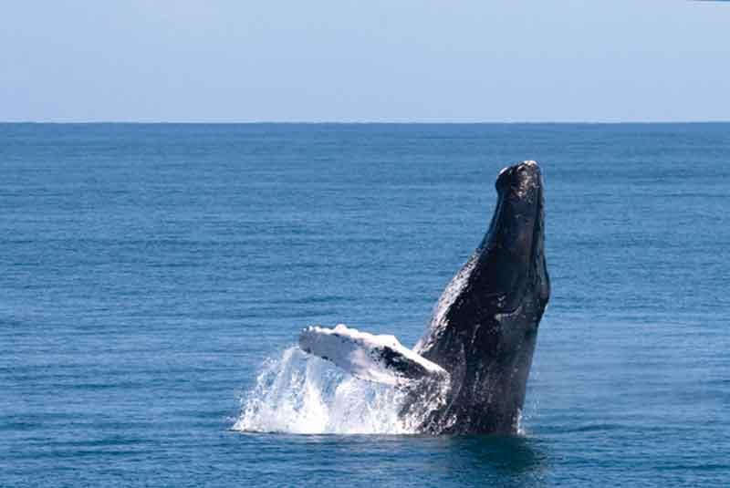 Pozorování-velryb-hrbatých